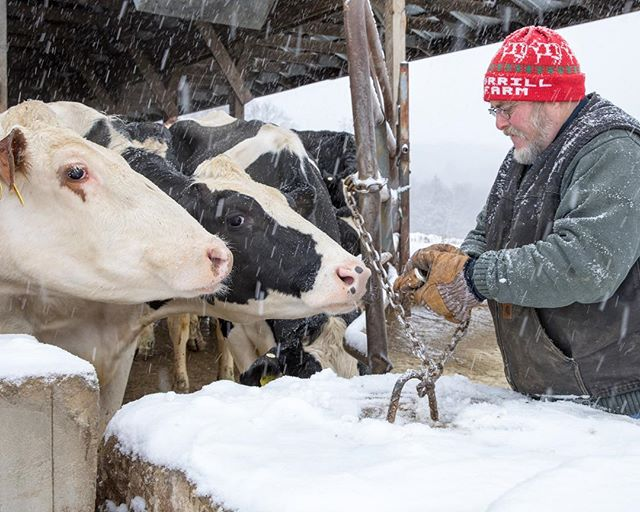 With cold weather and harsh conditions, dairy farmers take extra care and adjustments to maintain a healthy herd. Properly feeding and watering their cattle throughout winter relies on an established feed budget, nutritional analysis, an increase of feed and other factors involving quality, stock and feeding method. #DFAmilk [Pictured is Rob Morrill of Morrill Farm Dairy, Penacook, N.H.]