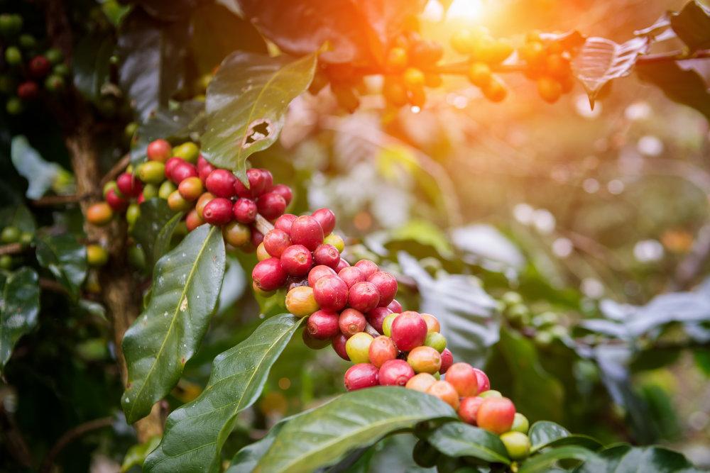 iStock-697478750 - Coffee Plant.jpg