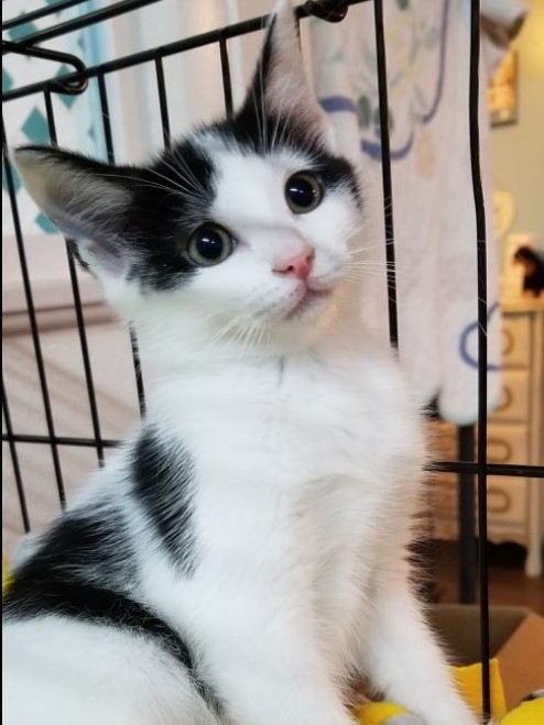 Destiny - Adoption Fee: $509 Wk. Old FemaleI am absolutely adorable and I know it. I can be found in the new Cat Condo with some of the other kittens. Pick me first and you won't want any other kitten.I PUUURRR-MISE:-)