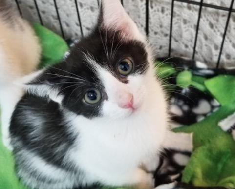 Sahara - Adoption Fee $509 Wk. Old FemaleSahara here. My sister Kia and I just came into the Cat Condo and it's really nice but I'd rather have a person's lap to lie on. Are you my lap person?