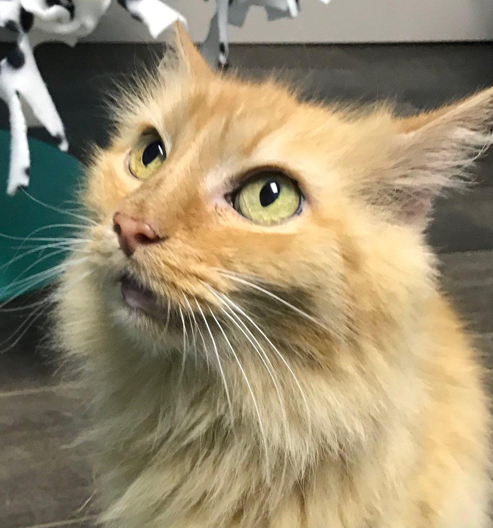 FiFi - Adoption Fee $50Domestic Medium Hair8 Yr. Old Spayed Female
