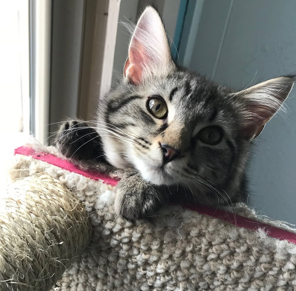 Lakyn - Adoption Fee $50Domestic Medium Hair4 Mo. Old Neutered MaleThis little guy is so silky soft, you won't be able to put him down.