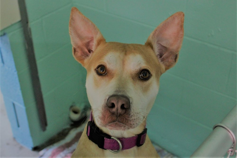 Rosie - Adoption Fee $100Pitbull Mix2 Yr. Old Female