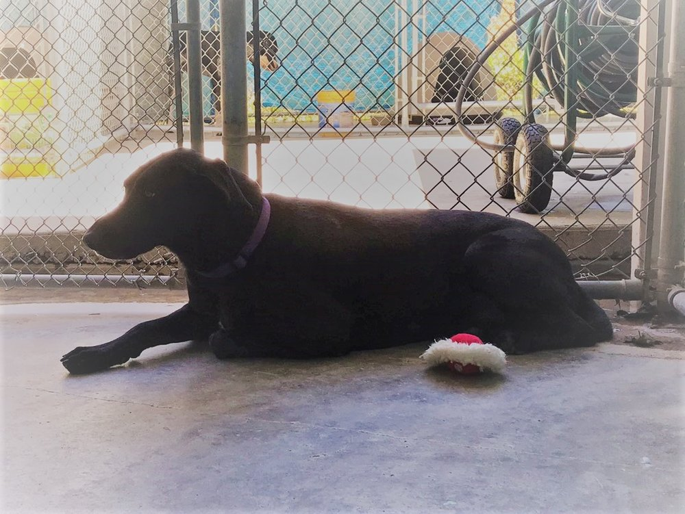 Jasmine - Adoption Fee $100Great Dane/Lab Mix3 Yr. Old Spayed FemaleI'm a sweet but timid girl.  I really want to be your friend but I'm so scared here at the shelter.  If you come visit me I will come put my paw in your hand after a few minutes and you'll see what a sweet girl I am.  Please give m a new home.