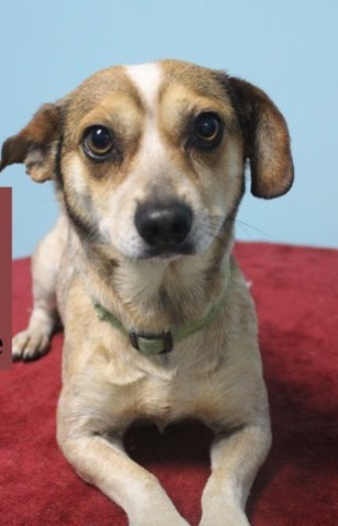 Wishbone - Adoption Fee $100Terrier Mix3 Mo. Old Male