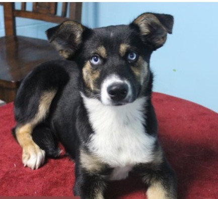 Ivy - Adoption $100Shepherd/Husky Mix3 Mo. Old Female