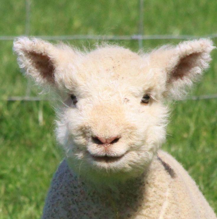 018f2819a9a7327f8b159d2b8755eceb--smiling-lamb-babydoll-sheep.jpg