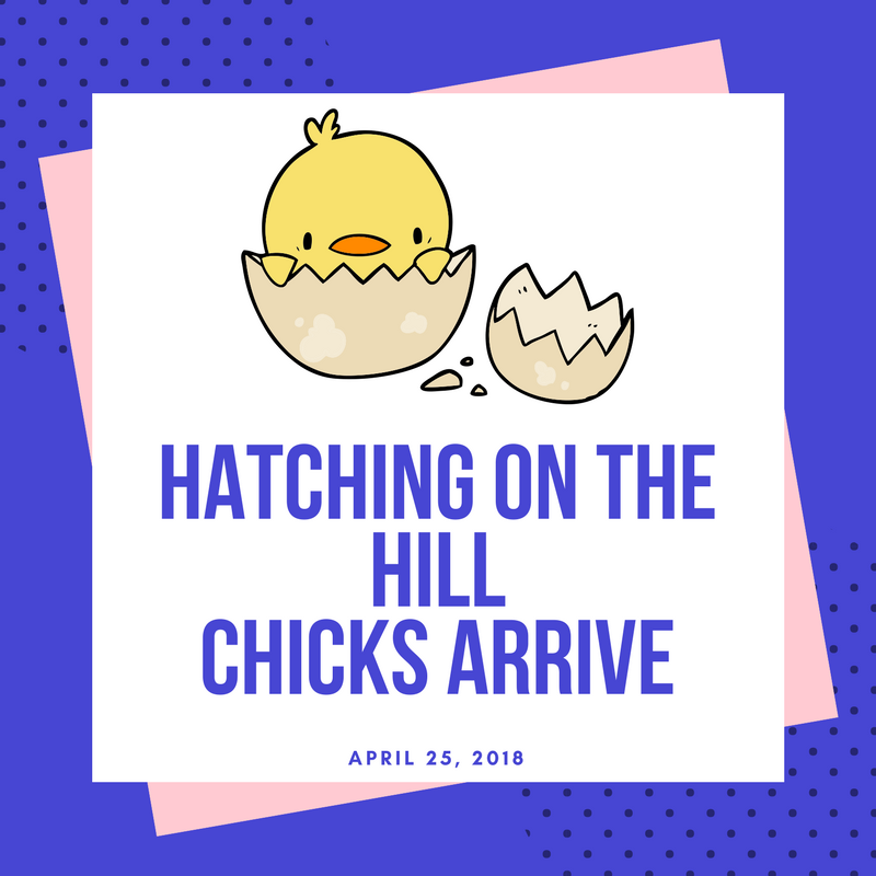 HaTCHING ON THE HILLCHICKS ARRIVE.png