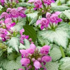 plant lamium.jpg