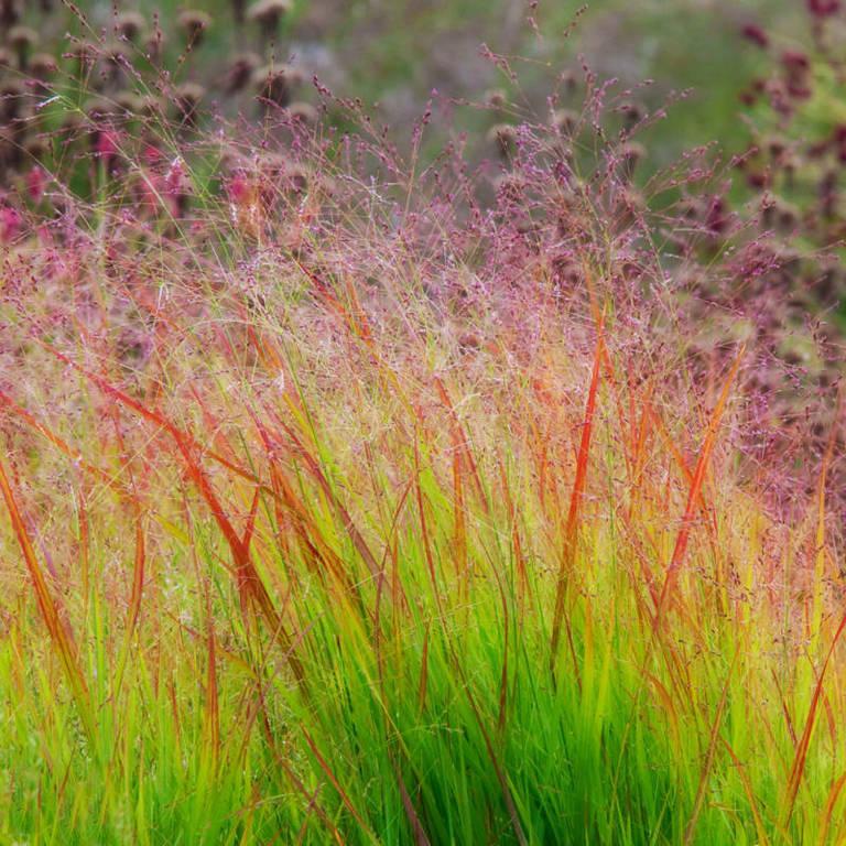 Switchgrass2.jpg
