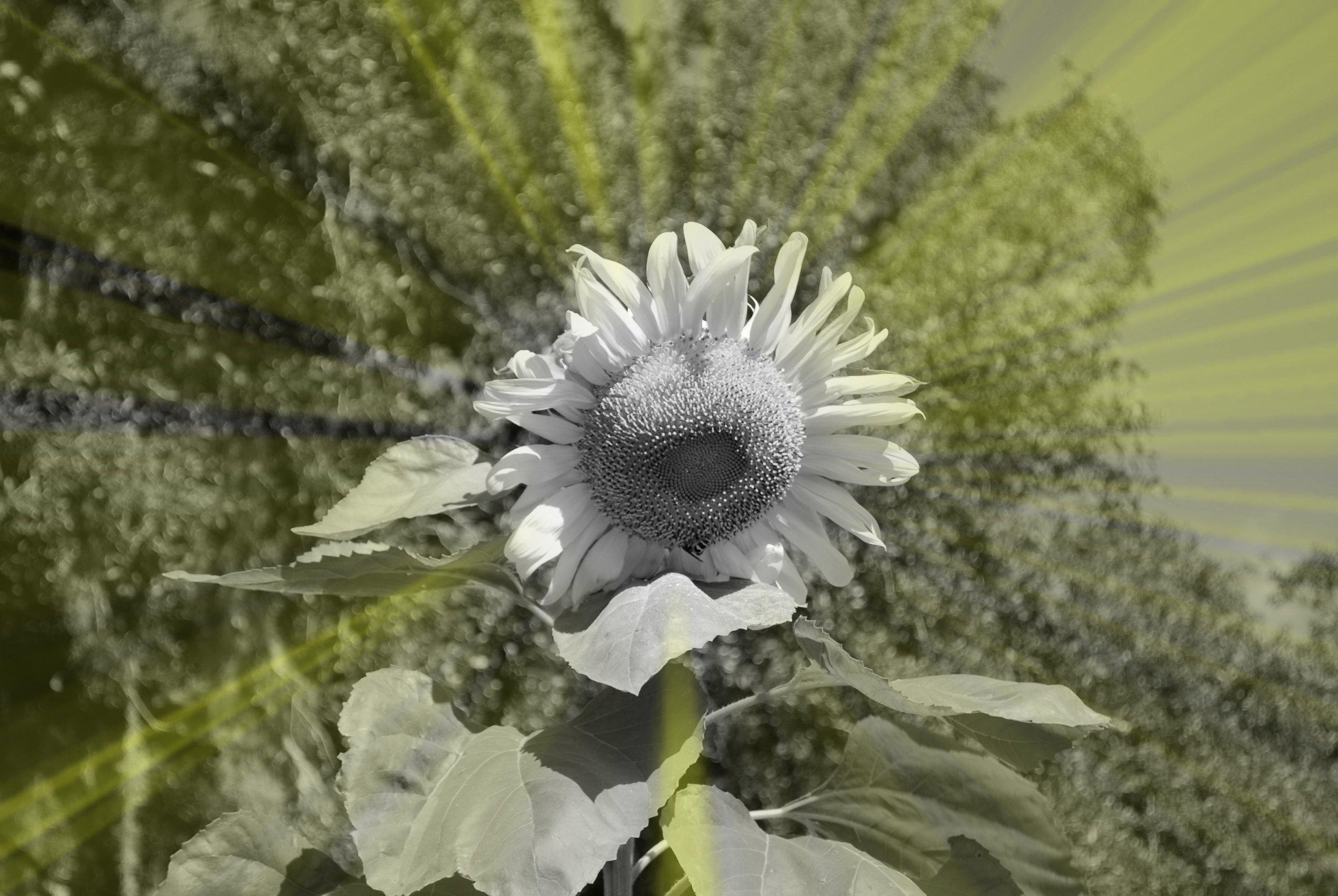 sunnyflower