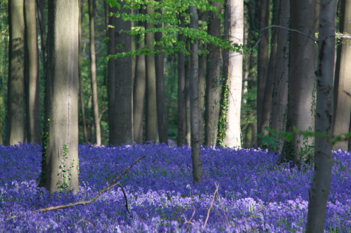 Hallerbos Forest,  (Photo: Wikicommons, Donar Reiskoffer)