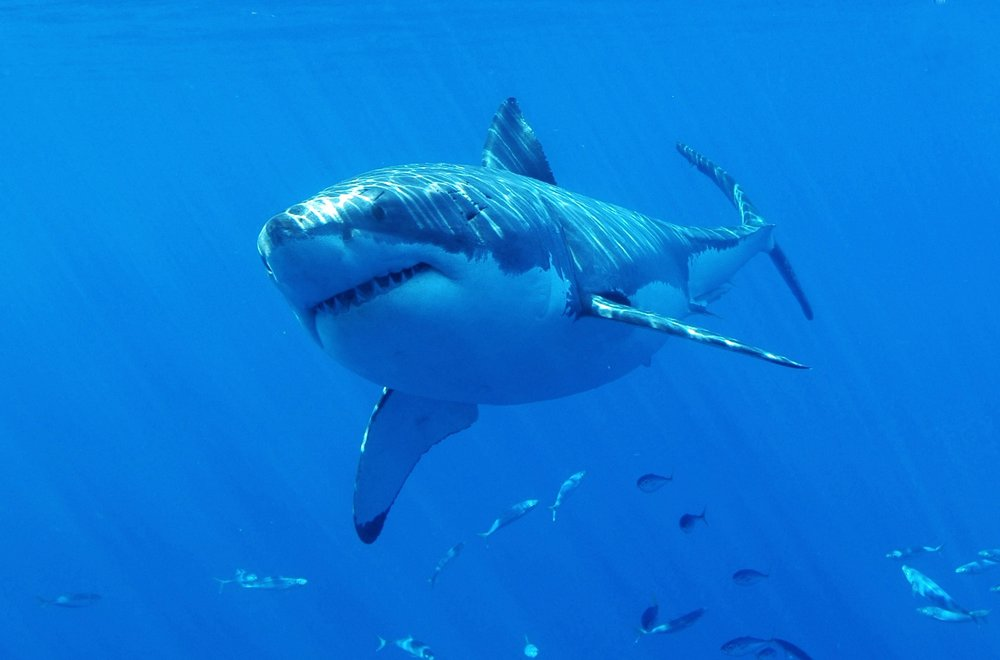A great white shark in the beautiful blue waters of Guadalupe