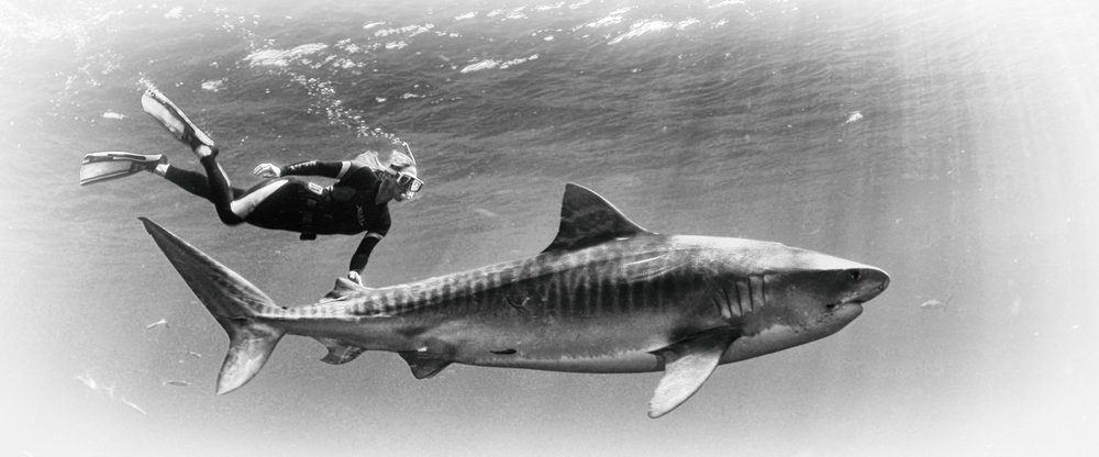 Stefanie swimming with a tiger shark