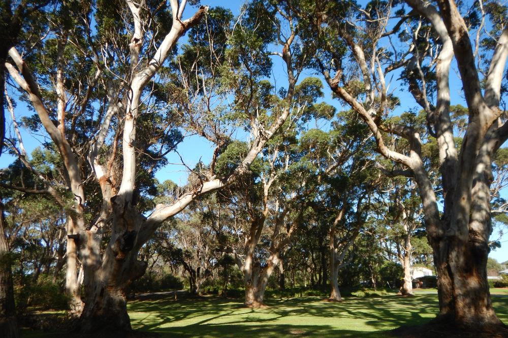 Karri Trees. Albany, WA.