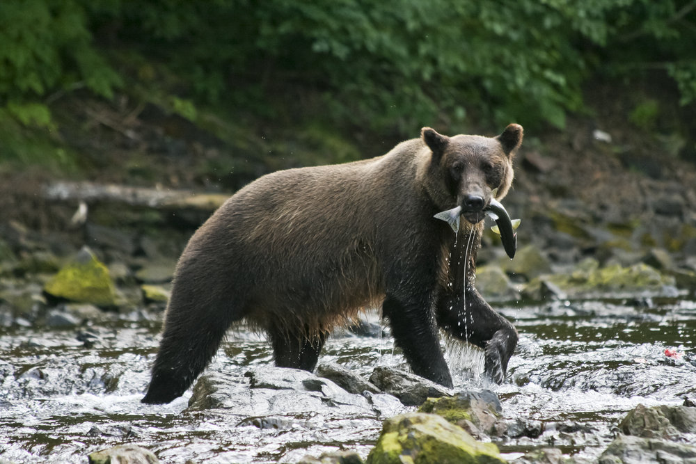 Bears - Pictures of bears from our travels in Alaska