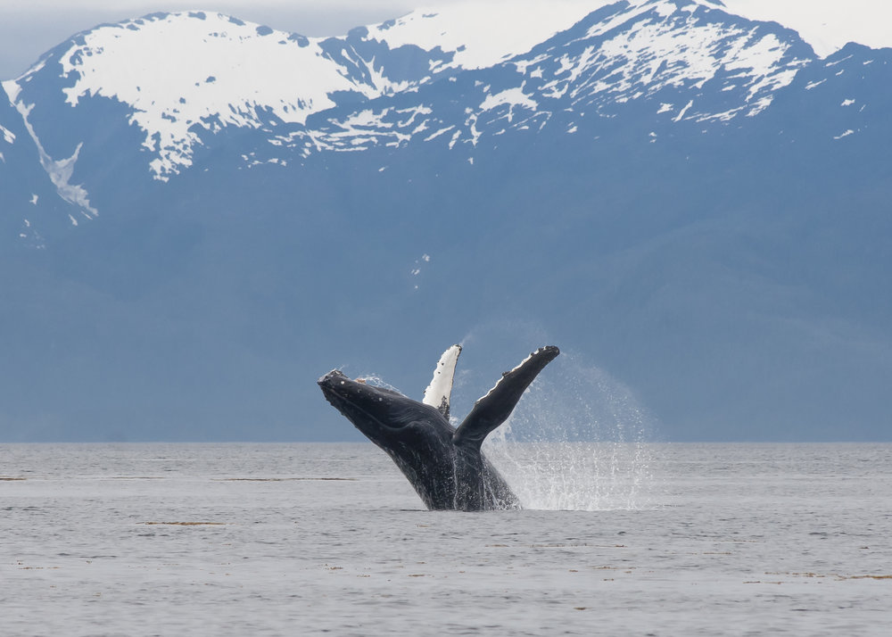 Whales - Humpbacks and Orca from Alaska