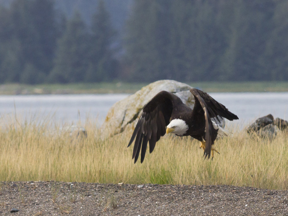 2013-07-17 bald eagle at Swanson Harbor 02.jpg