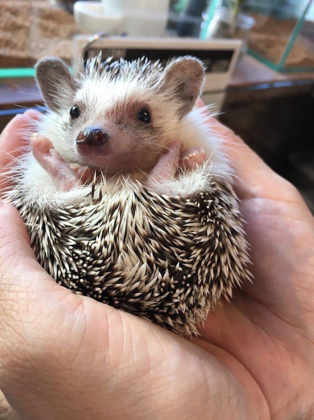cafe-hedgehog-em-Tokyo-picture.jpg