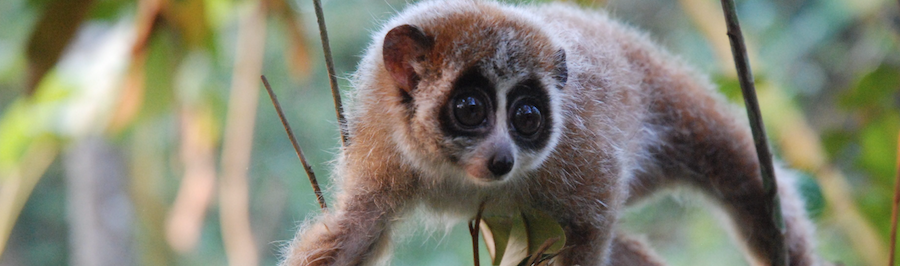 Loris from the Endangered Primate Rescue Center .  Foto:  EPRC