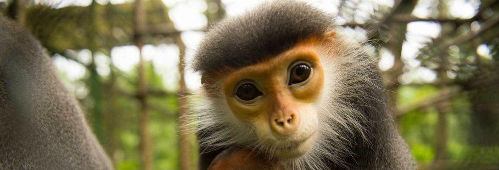 Endangered monkey in Vietnam. Photo:  EPRC