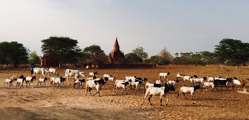 Rebanho em bagan, Myanmar. Foto: Patti Neves