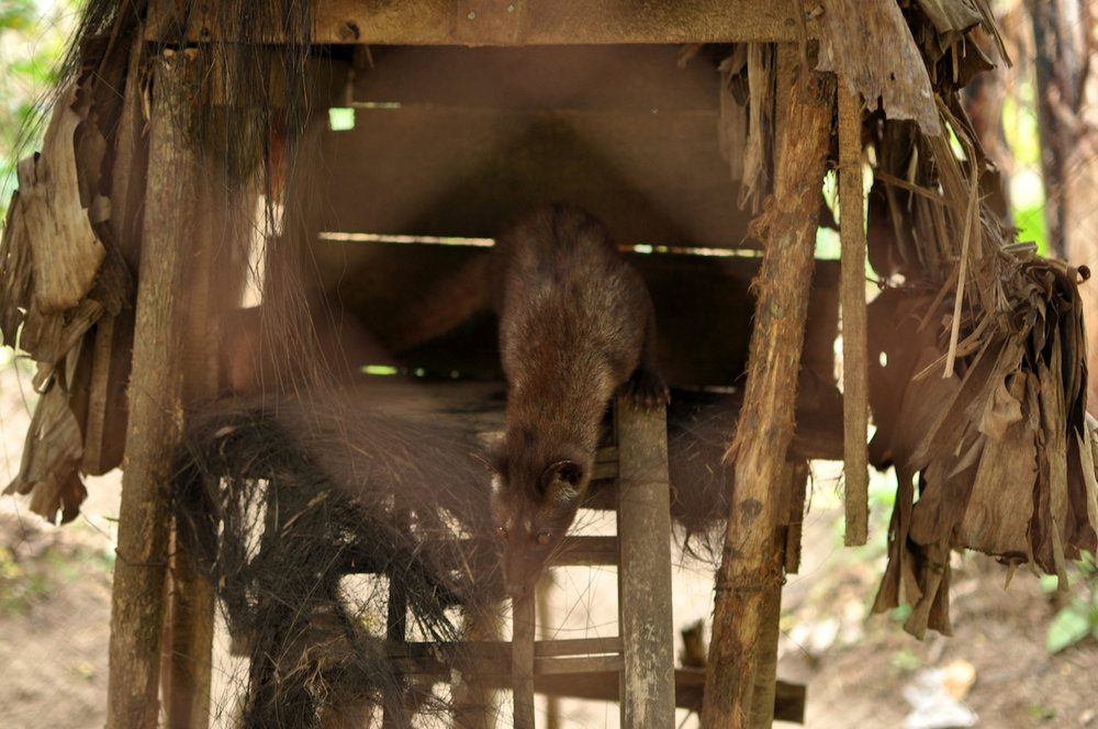 Civet em cativeiro. Foto: Patti Neves