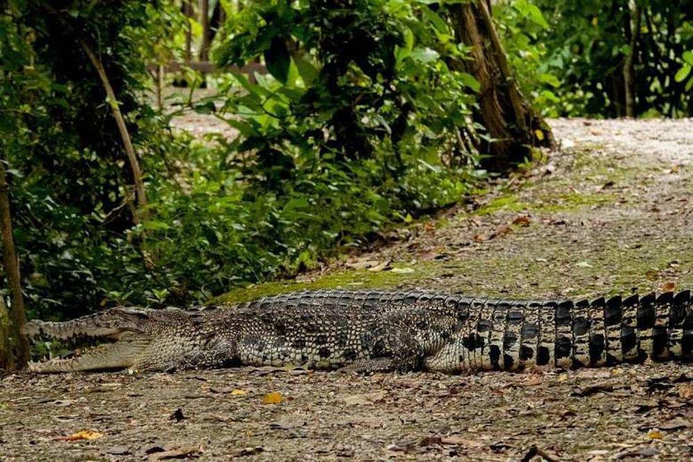 Crocodilo no parque de Sungei Buloh. Foto: Richard Seah/Straits Times