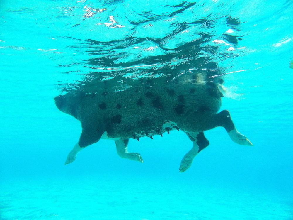 Porquinha nadadora nas Bahamas. Foto: Patti Neves