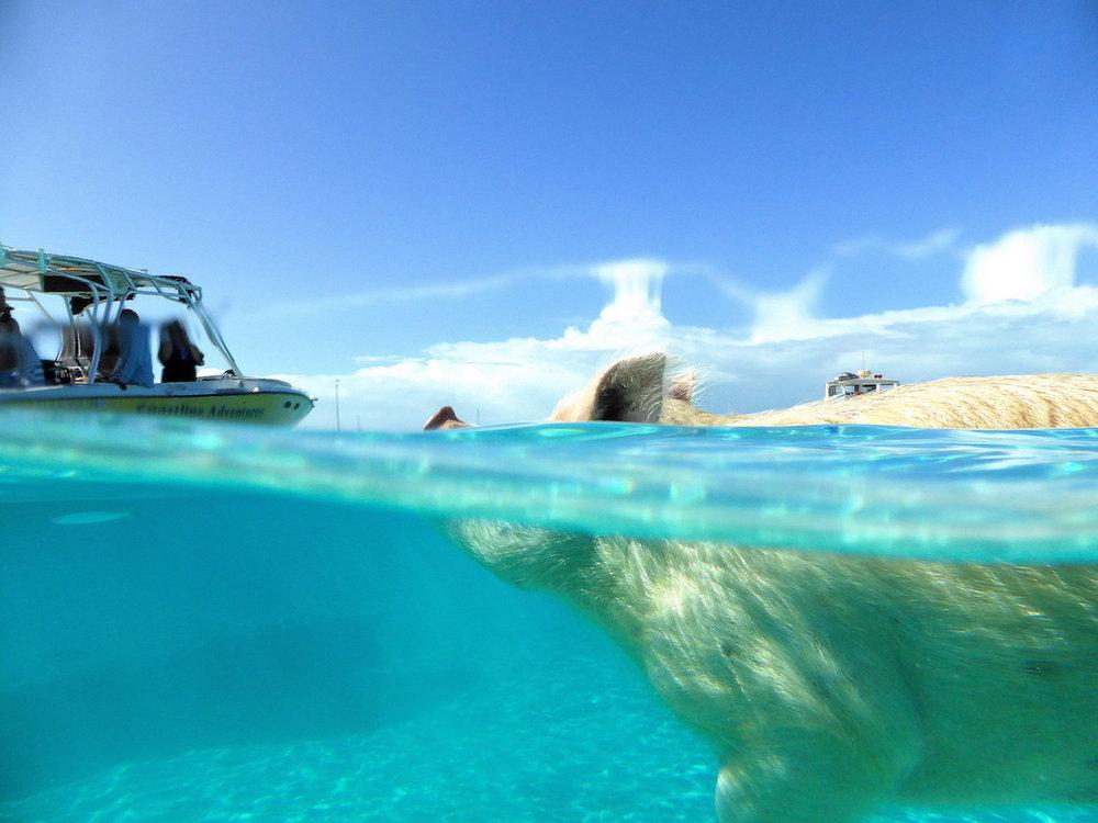 Porquinho nadador se aproxima do barco. Foto: Patti Neves