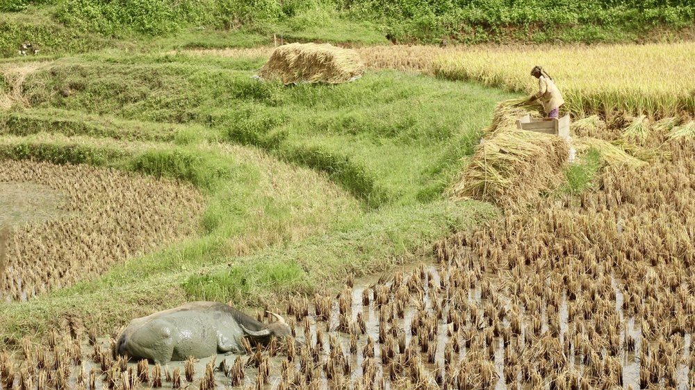 Toraja_Rice_Buffaloes.jpg