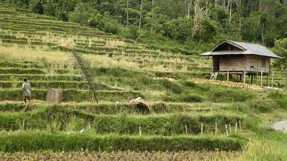 Toraja_Ricefields.jpg