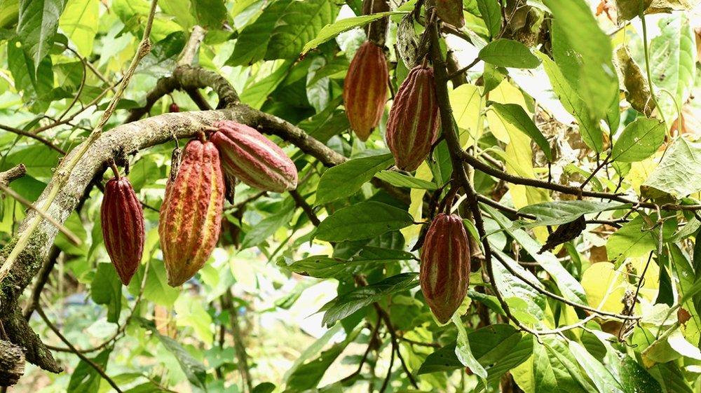 cocoa-tree.jpg