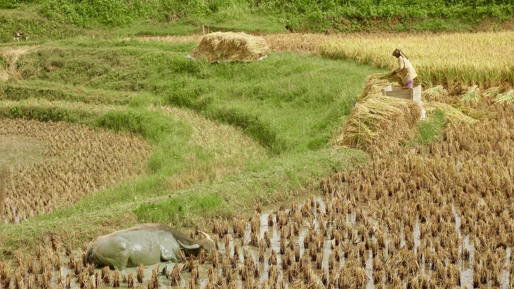 Rice and Buffaloes