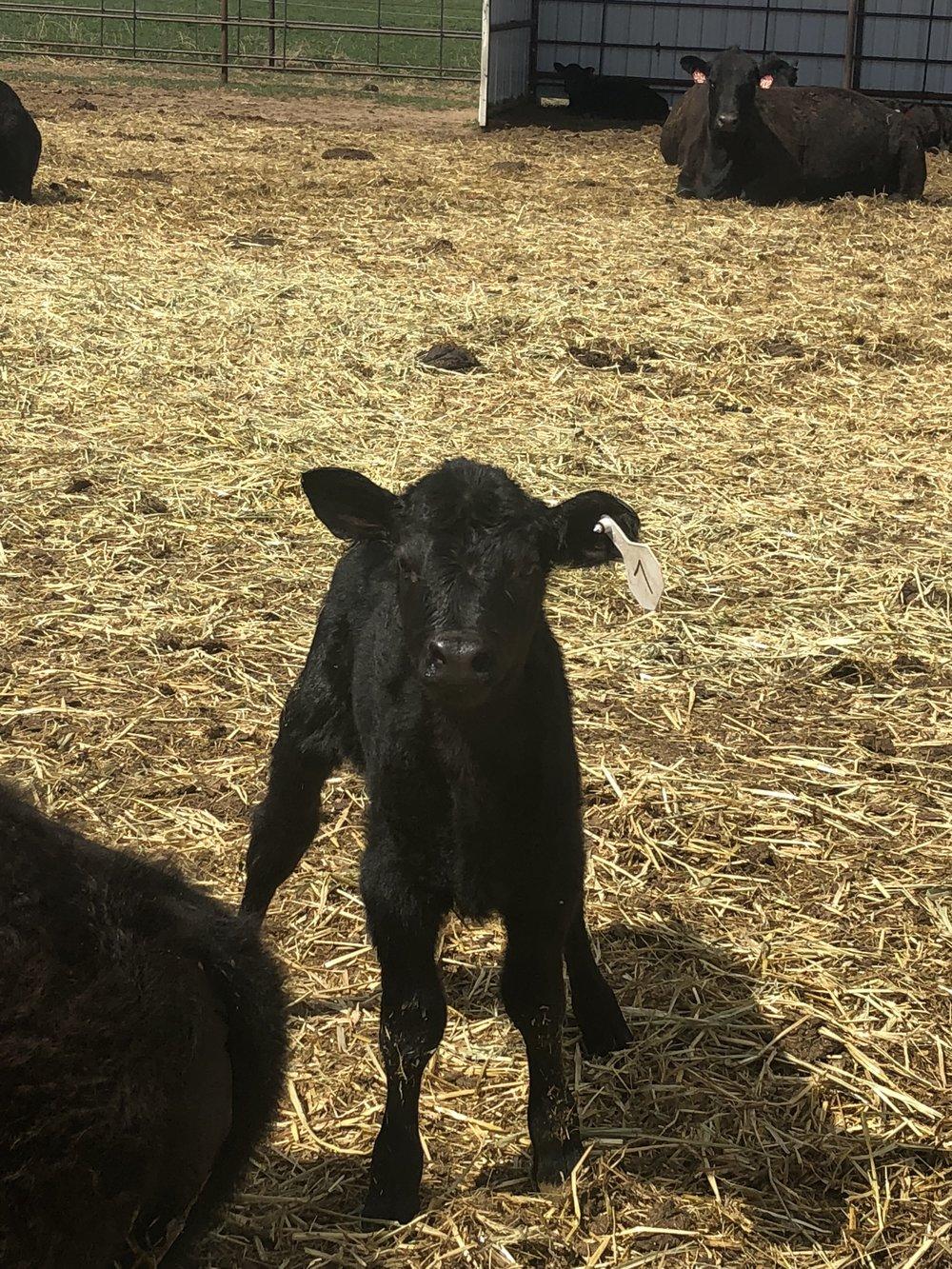 Heifer born April 22nd -