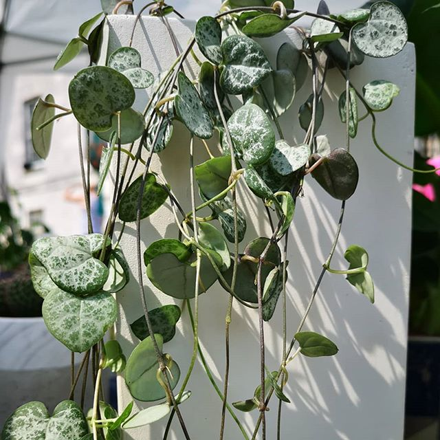 Our Ceropegia Woodii have been loving the sunshine and getting their grow on - we love them in these tall, minimal painted  concrete pots which show off their pretty silvery green hearts to full effect. We'll have a few with us @greenrooms_market today - pop down to Peckham and find us!  #ceropegiawoodii #stringofhearts #houseplantsofinstagram #houseplants #plantsmakepeoplehappy