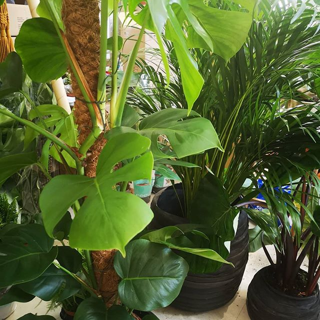 Our houseplant jungle has been loving the heat - possibly more than we have been loving the watering regime! All growing strongly and happily (particularly the monstera...) #urbanjungle #houseplantsofinstagram #houseplants #monsteradeliciosa #monstera #palms #heatwave #plantsmakepeoplehappy #houseplantjungle