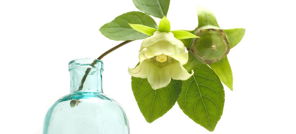 Codonopsis - Tao do bem-estar 1