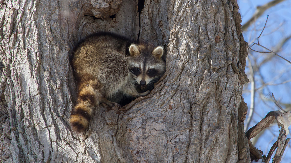raccoon-tree.jpg