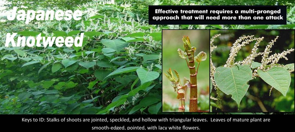 japanese knotweed.jpg