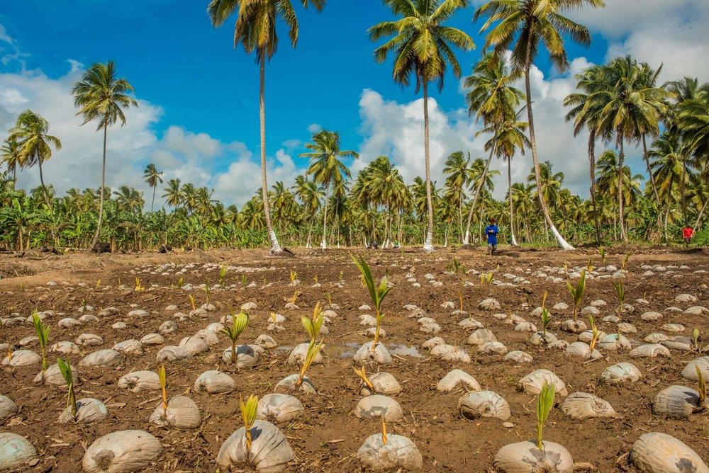 Pomeroon Coconut Seedling Nursery Guyana.jpg
