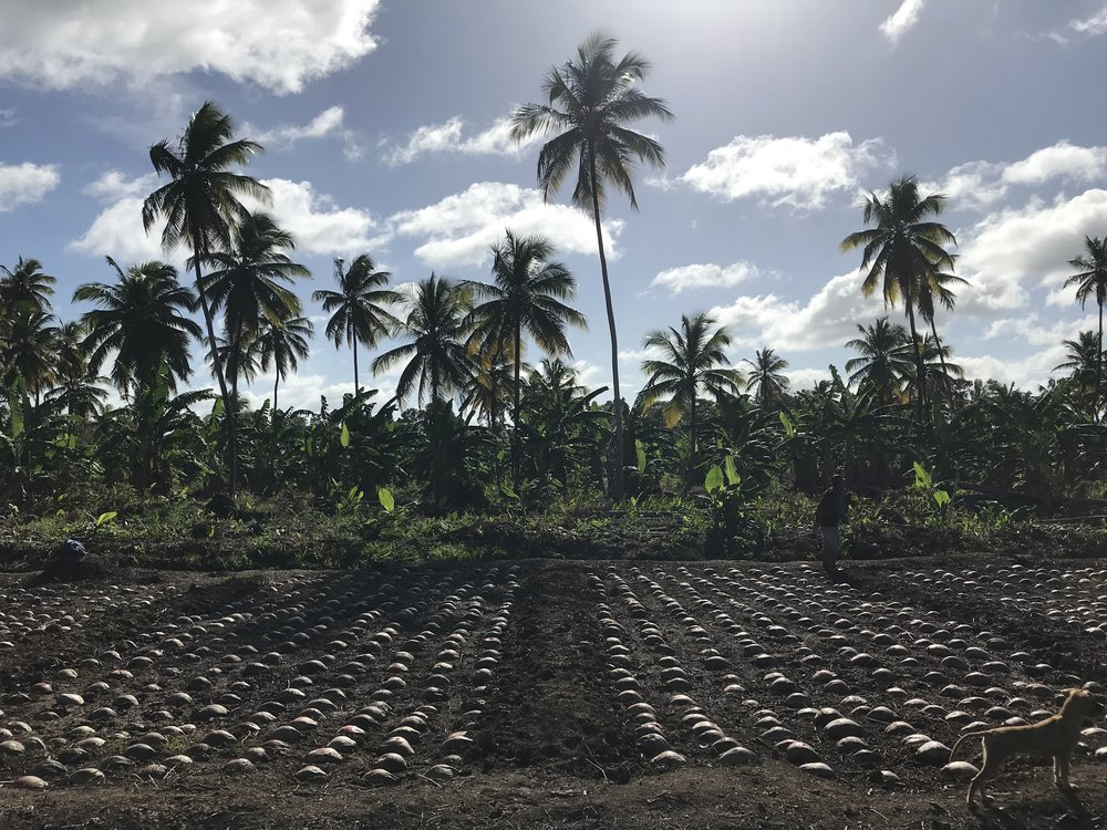 Nursery Dog Seednut Palm Planting Material Guyana.JPG