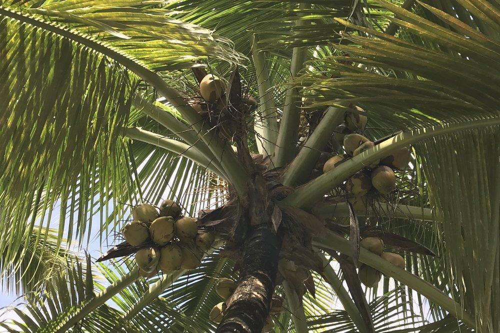 Pomeroon Coconuts Fruits Yield.JPG