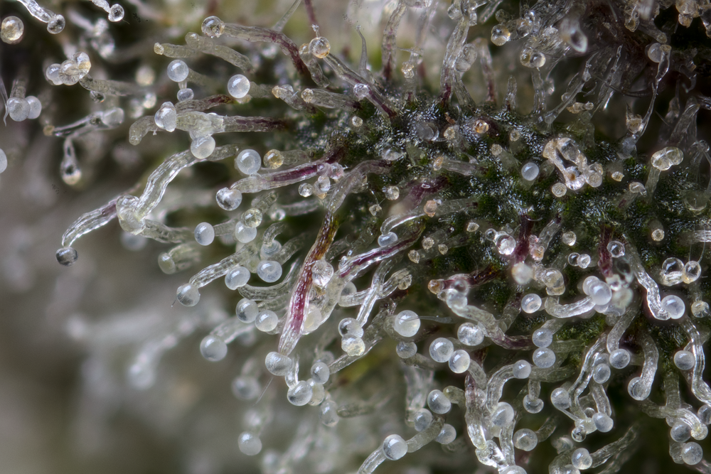 52 stack trichome_2000.png