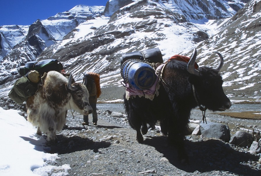 The yaks carrying supplies to the monastery at the back side (north) of Mt. Kailash.