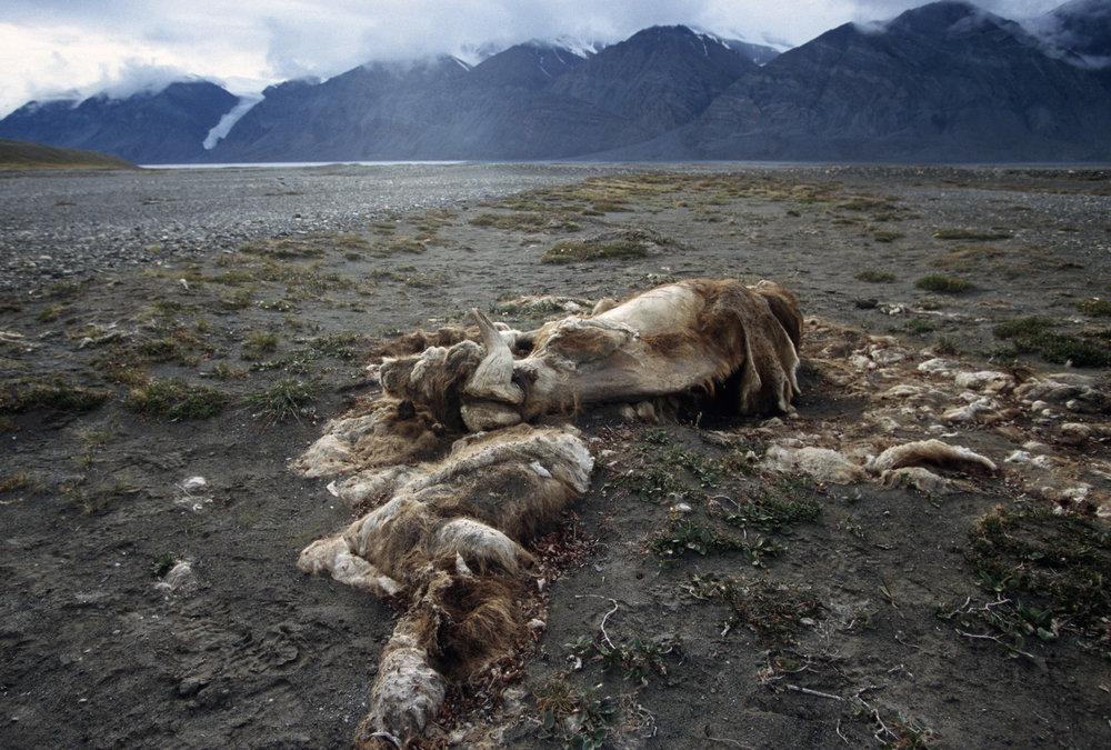 Tanquary Fjord and mummified Muskoxen