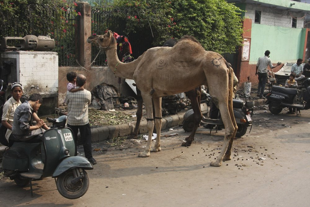 Camel parking in New Delhi