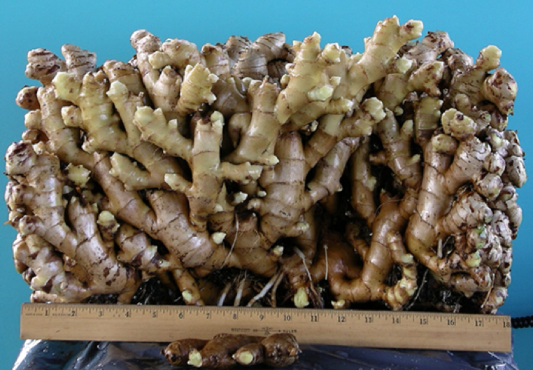 Ginger is a rhizome that sprouts new branches from each knob.