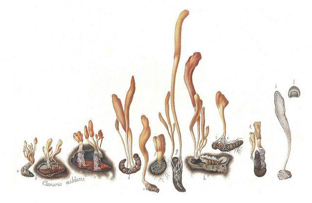 Cordyceps militaris. Artistry by Paul K.