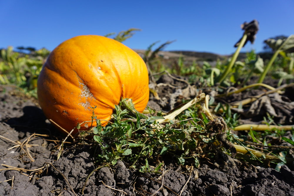Pumpkin Seeds: Valuable Morsels of Nutrition in a Web of Orange Pulp - Fun story about the nutrition of pumpkin seeds for Inside Science News Service
